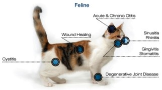 Benefits of laser therapy in cats