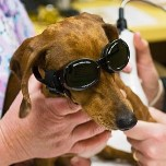 Dog wearing doggles for laser therapy